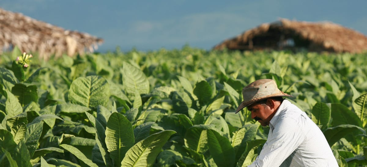 Image of man in a tobacco field