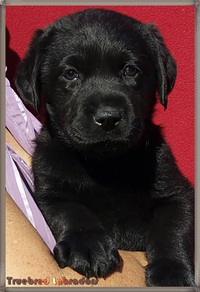 black Labrador puppy NSW
