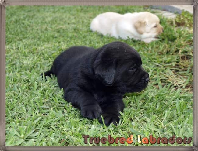 black and yellow Labrador puppies