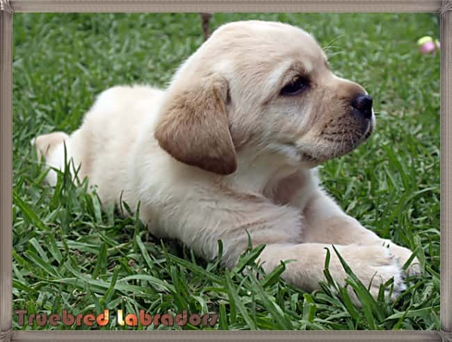 golden yellow Labrador puppy laying