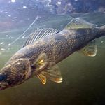 Running and Gunning for Spring Walleye