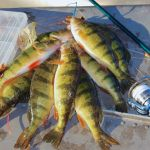 Catch More Jumbo Perch This Fall