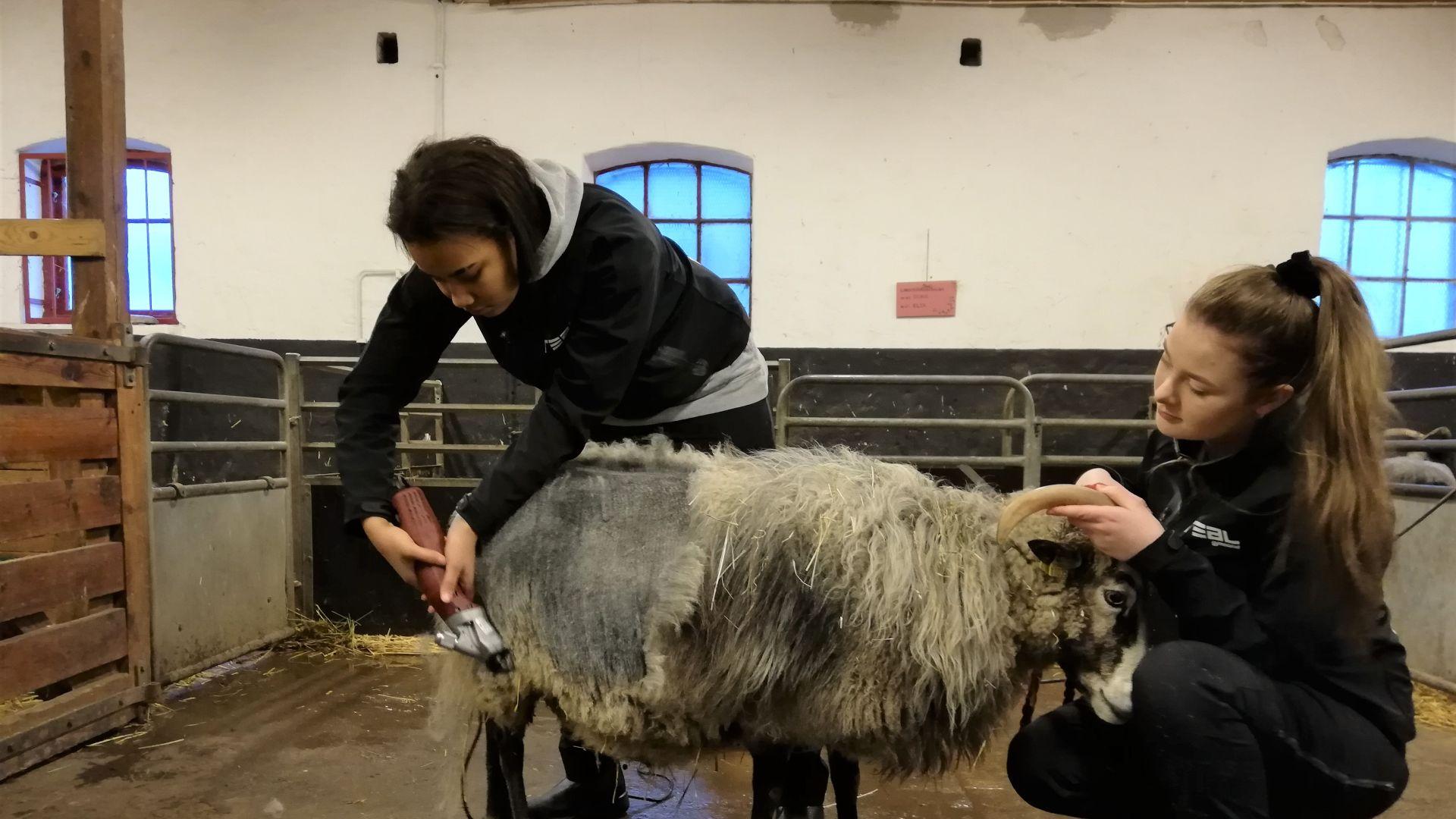 Almviks 4H-gård tar hjälp av Realgymnasiets elever för att klippa fåren
