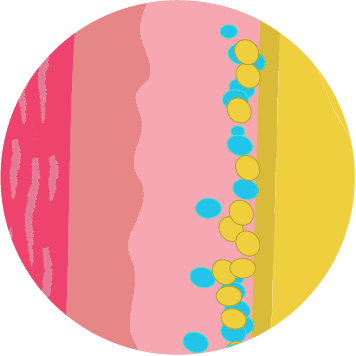 Illustration of fat cells weeks after CoolSculpting