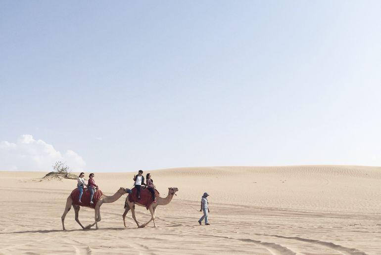 Kamele in Abu Dhabi