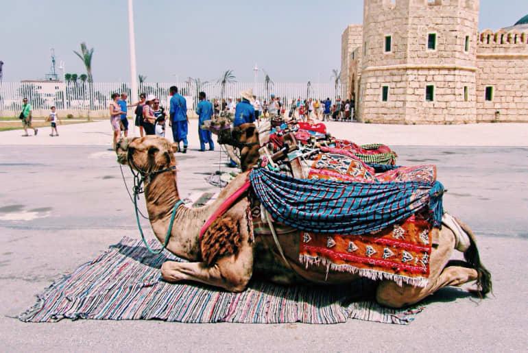 Kamel in Tunesien