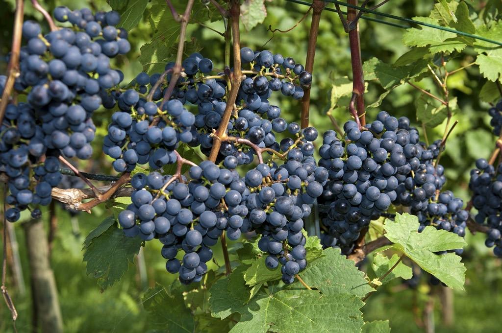 Turismo vinícola