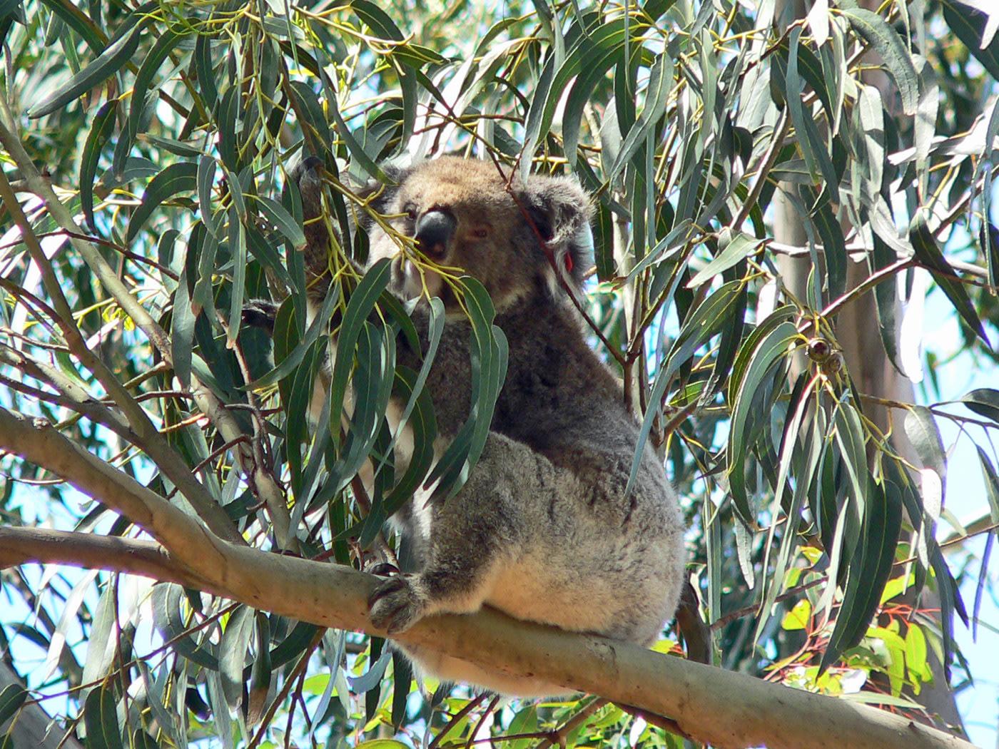 Gli immancabili koala. Cabiria Magni Australia