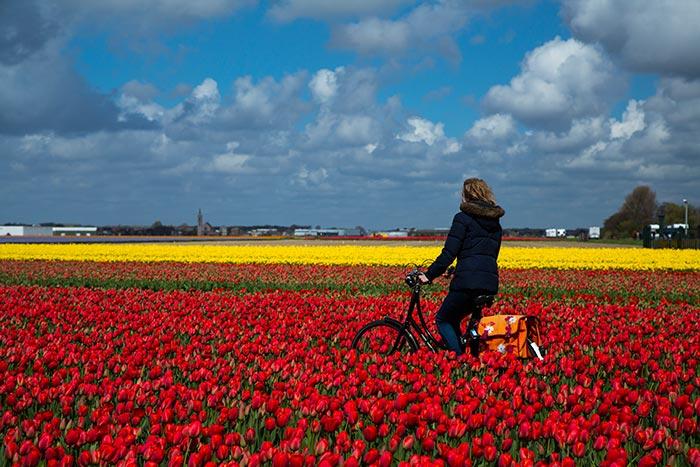 Tulips - Image by Cris Toala Olivares