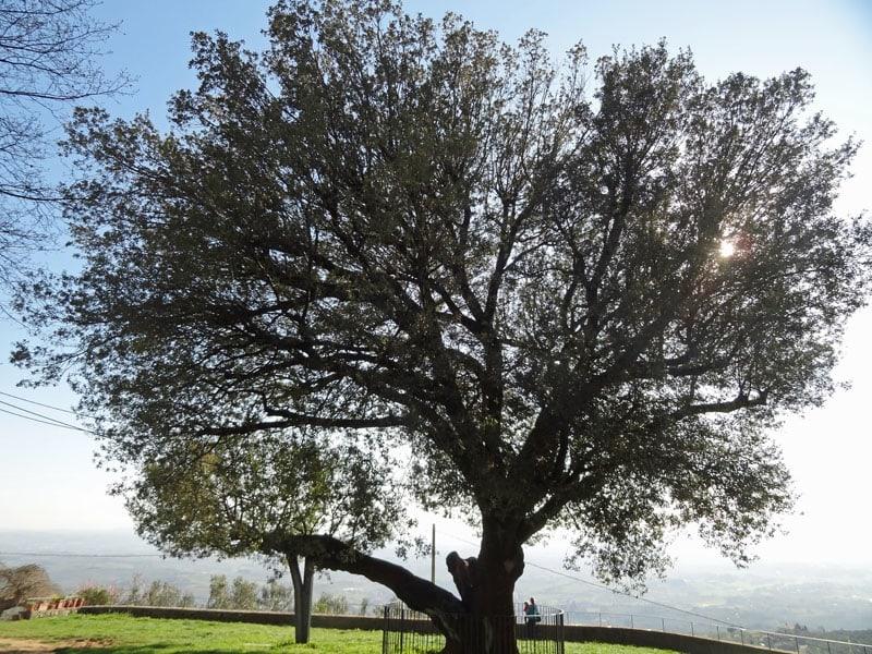 Árbol monumental en Faltognano