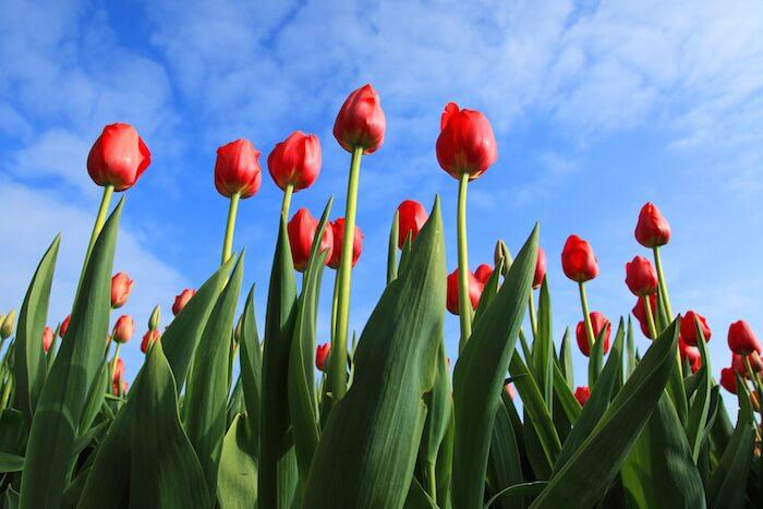 tulipanes en holanda en primavera