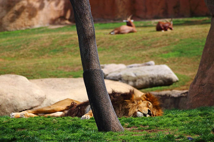 Bioparc de Valencia leon
