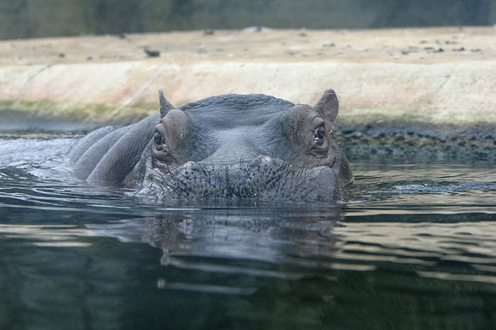 zoo de berlin hipopotamo