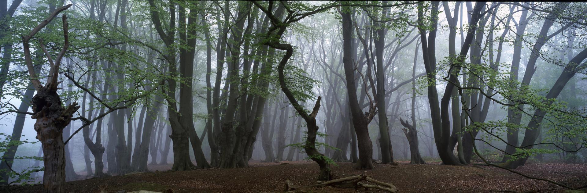 Beech Pollards in mist