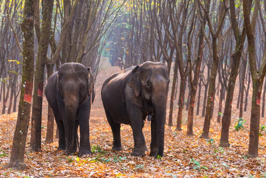 elefante-selva-kanchanaburi-tailandia