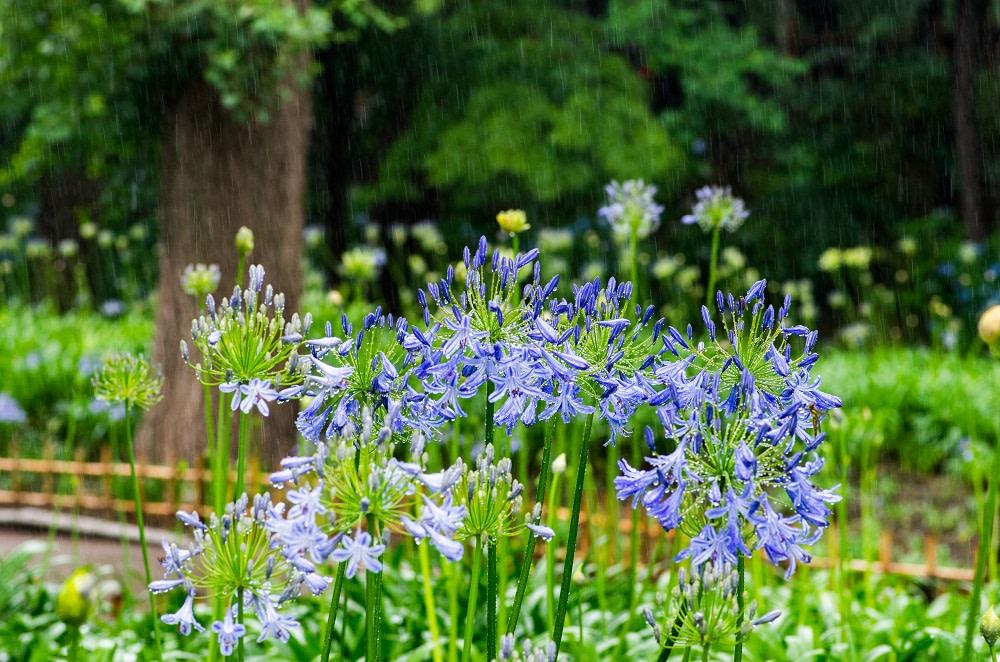 Liguria - Alassio - fiori di Agapanthus
