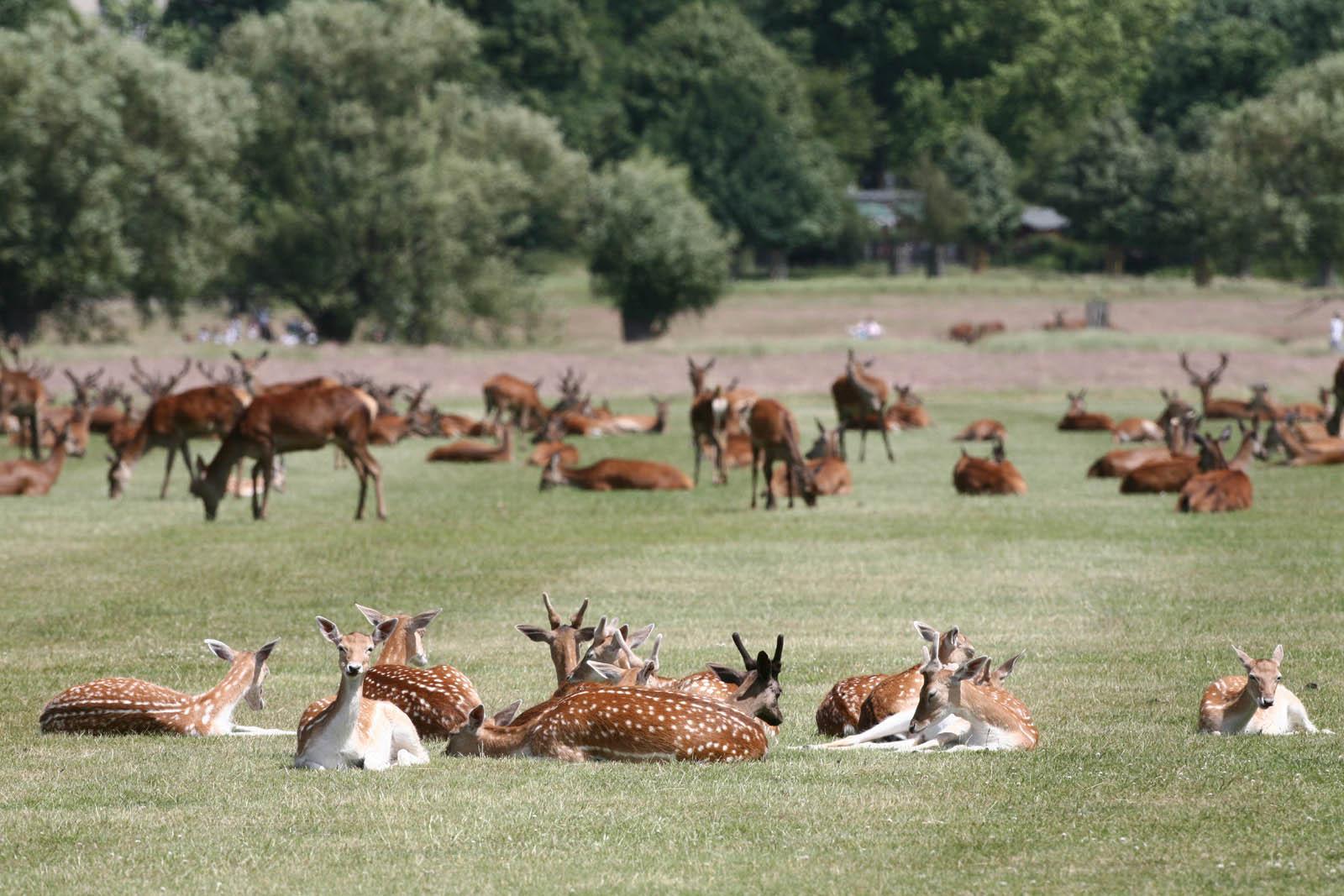 Deer - Richmond Park