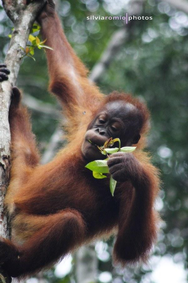 Semengoh Orangutan Sanctuary