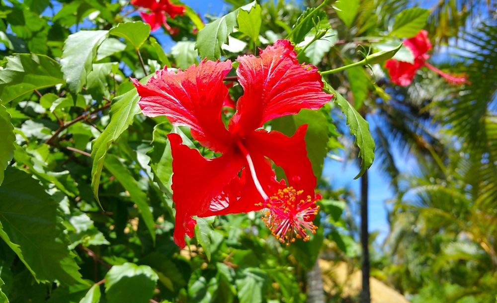 I fiori delle Isole cook
