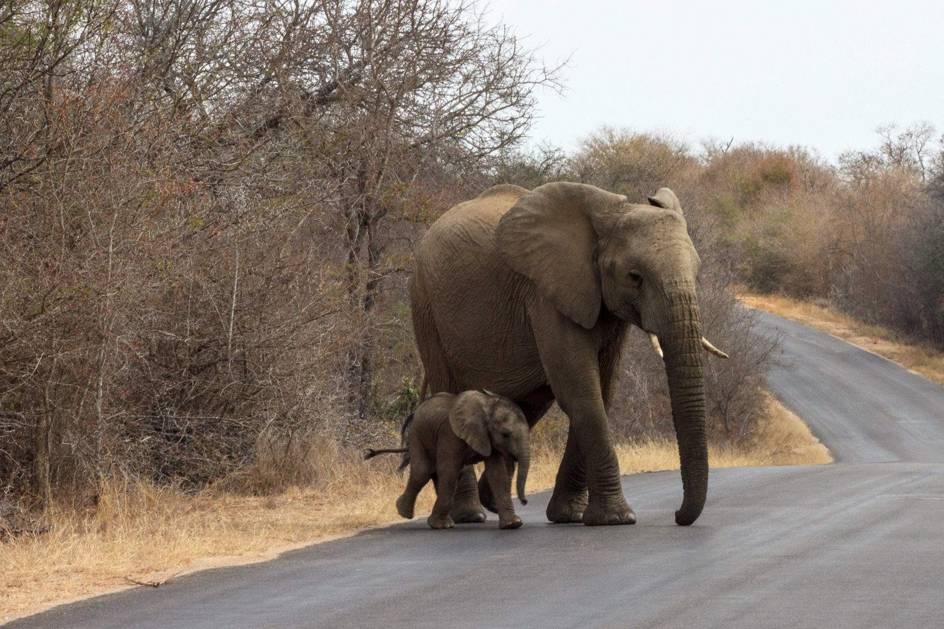 Elefanti nel Kruger National Park