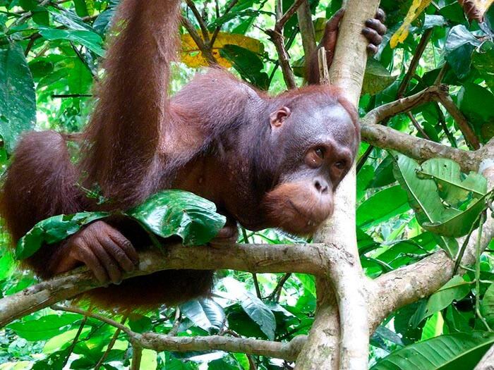 orangutan en la isla de borneo
