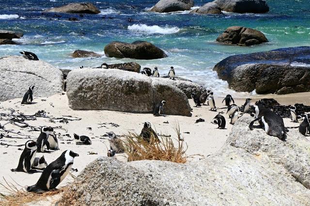 sudafrica-pinguini