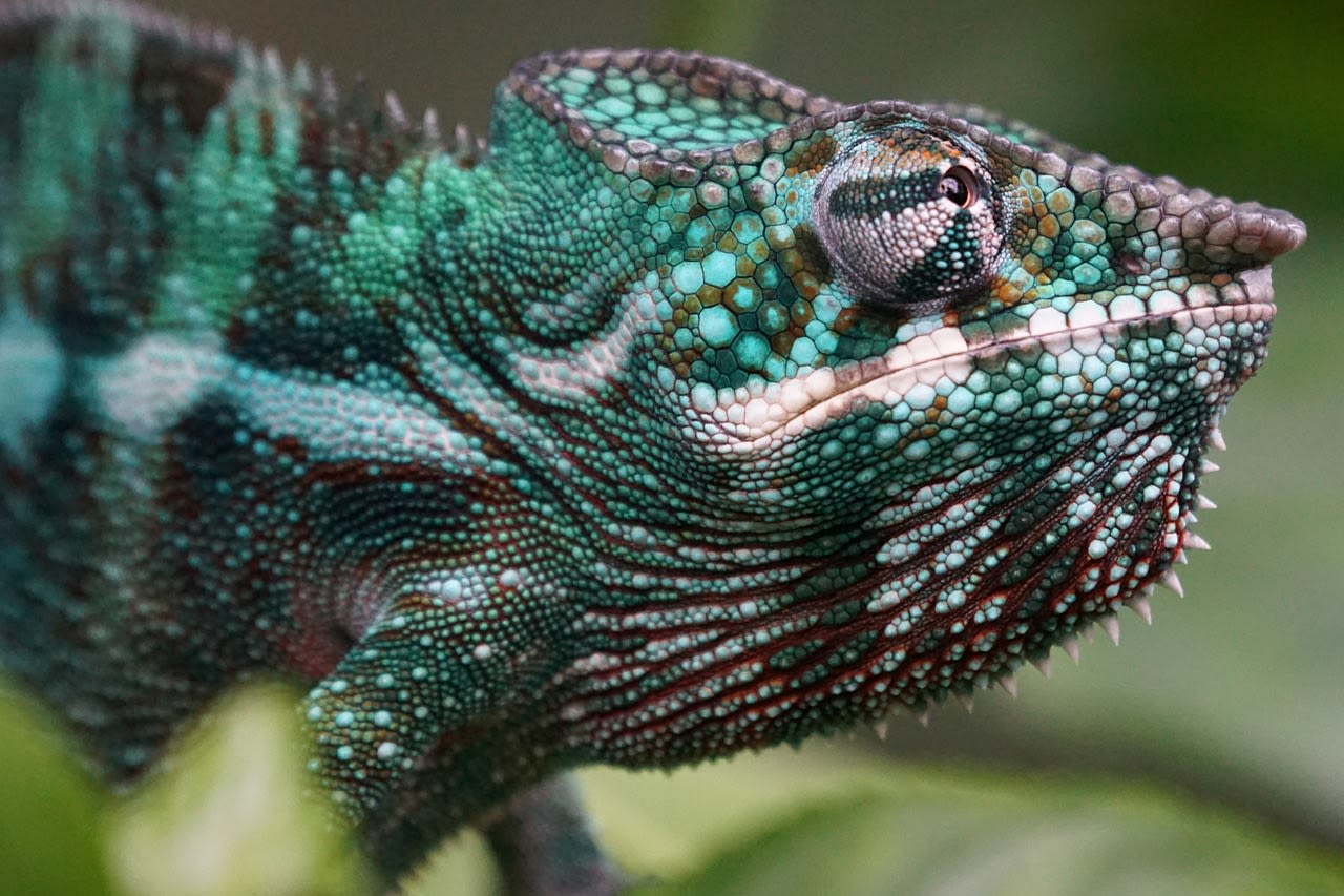 camaleonte Madagascar