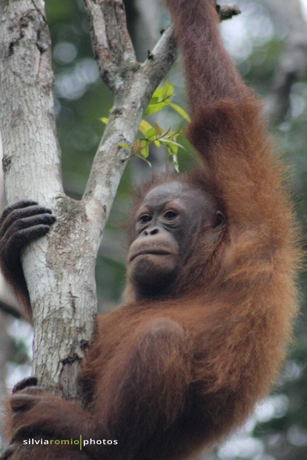 L'orango, anche detto l'uomo rosso