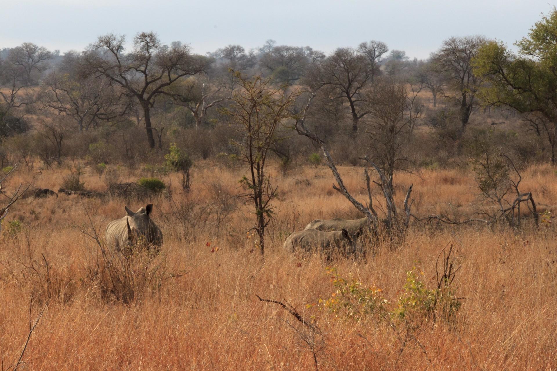 Rinoceronti nel bush del Kruger National Park