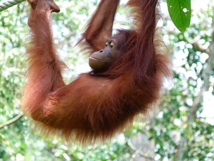 isla de borneo orangutan en peligro de extincion