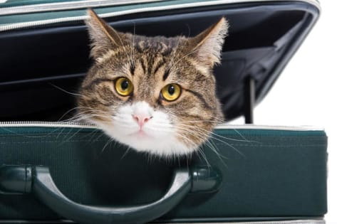 How do you travel by car with a cat