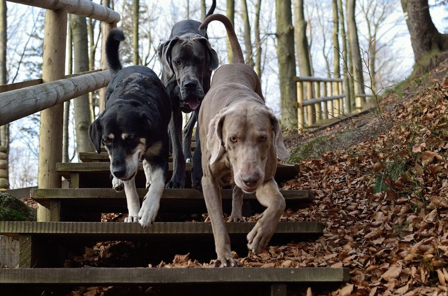Three dog pack