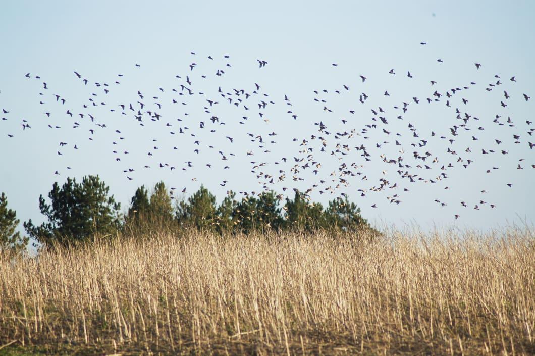 2012.08.08-linnets-on-shaldons-wild-bird-mix-120201-212.jpg#asset:2173