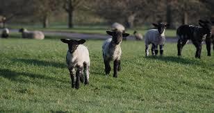 Lambs.jpg#asset:2445