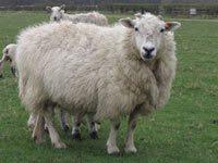 Pic-3-SheepTexelmule_200.jpg#asset:2182