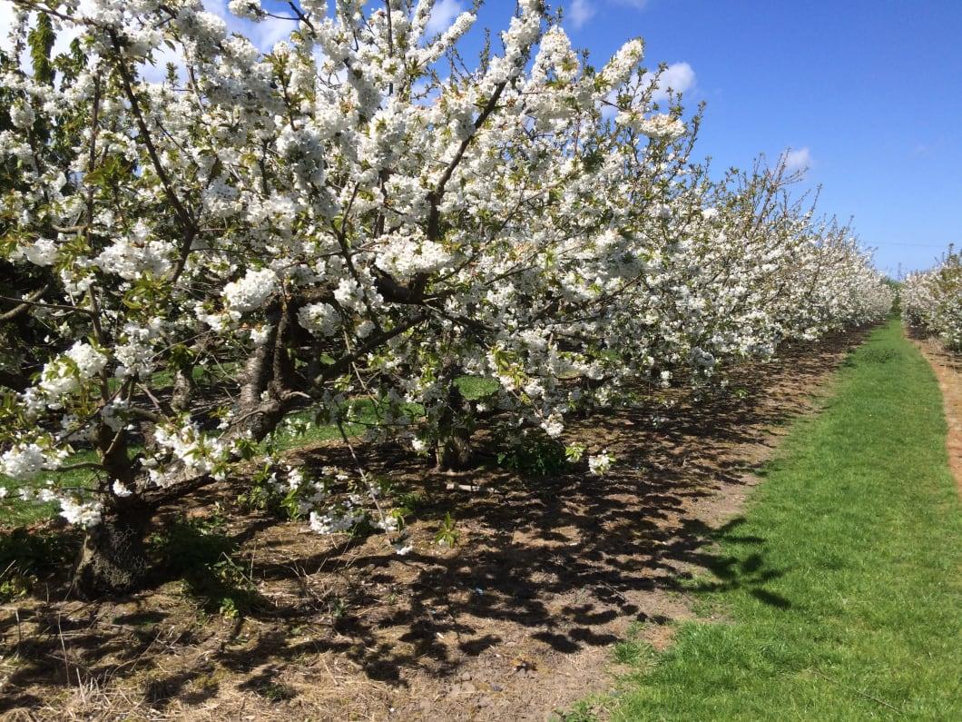 cherries-in-blossom.jpg#asset:3017