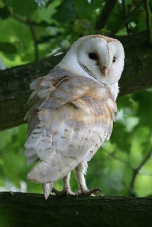 barn-owl-6_170811_085920_1.jpg#asset:1996
