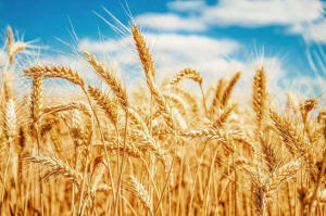 Wheat Varieties Question