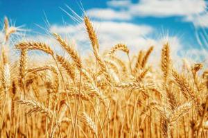 Wheat Varieties Question