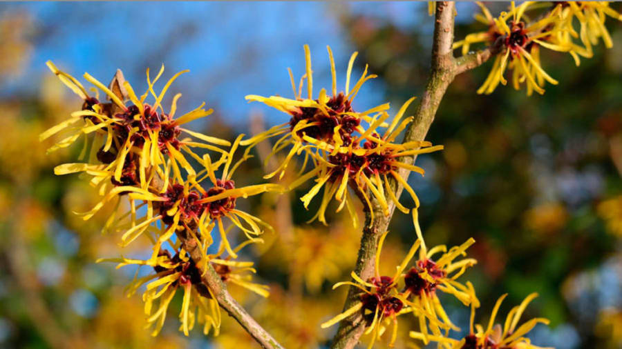 Witch Hazel Natural Remedies For Eczema Treatment