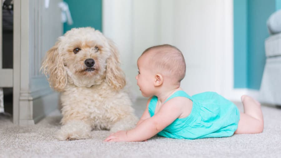 Baby in blue dress next to fluffy white dog on carpet