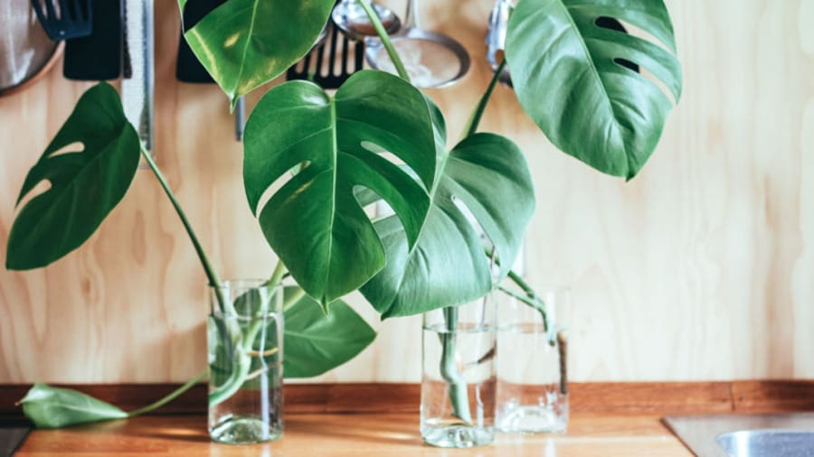 house plant in water on a wooden desk