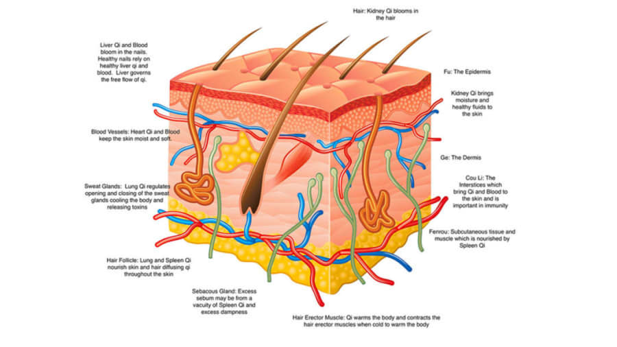 Traditional Chinese medicine skin summary and skin schematic