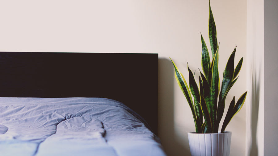 bed and snake plant