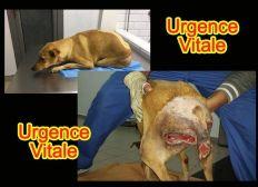 Quelques jours pour sauver Lucie, chienne paralysée, abandonnée par une association.