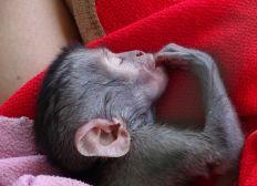 Stage en Afrique du Sud pour aider les singes vervets