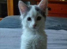 Opération urgente de Easy chaton de 8 mois cancer intestinal