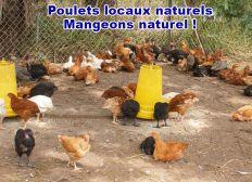 Elevage de Poulet locaux naturels