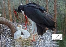 Save Our Black Storks