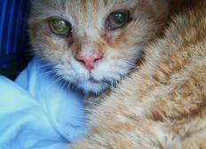 Brook le chat roux